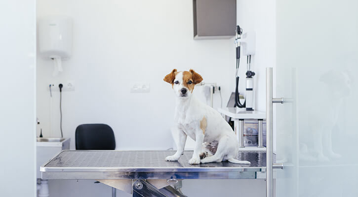 puppy waiting on the veterinary stretcher